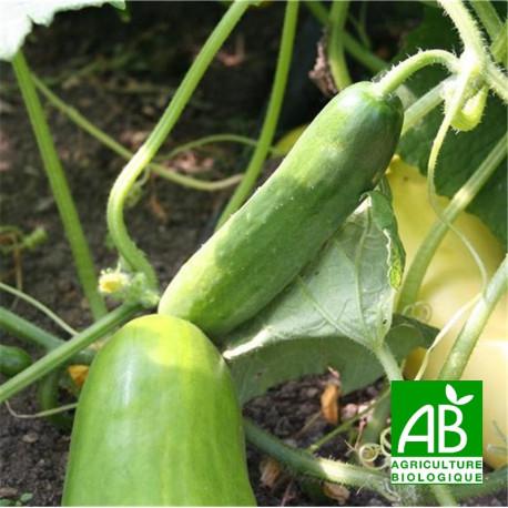 Concombre vert long bio